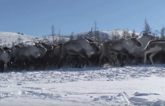 ネネツ族という民族をご存知でしょうか。 ロシアの極北地方の先住民族なんですよね。 最近日本のテレビでもたまに見かけることがあります。
